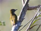94 Yellow-eared Woodpecker.jpg