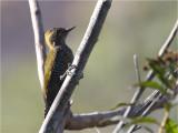 96 Yellow-eared Woodpecker.jpg