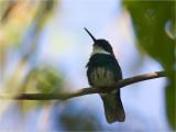 99 White-throated Hummingbird.jpg