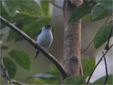 100 Pin-tailed Manakin.jpg