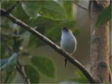 101 Pin-tailed Manakin.jpg