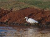 108 Snowy Egret.jpg
