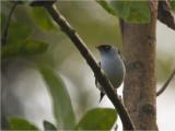 111 Pin-tailed Manakin.jpg