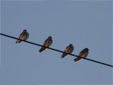 113 Brown-chested Martin.jpg