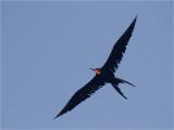 120 Magnificent Frigatebird.jpg