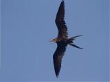 121 Magnificent Frigatebird.jpg