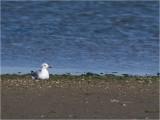 122 Grey-headed Gull.jpg