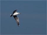 123 Grey-headed Gull.jpg