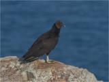 129 Black Vulture.jpg