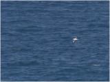 130 Atlantic Yellow-nosed Albatros.jpg
