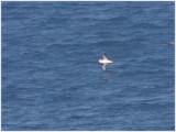 131 Atlantic Yellow-nosed Albatros.jpg