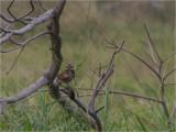134 Burrowing Owl.jpg