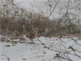 136 Burrowing Owl.jpg