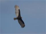 137 Lesser Yellow-headed Vulture.jpg