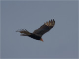 138 Lesser Yellow-headed Vulture.jpg