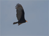 139 Lesser Yellow-headed Vulture.jpg