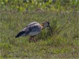 154 Buff-necked Ibis.jpg