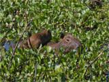 158 Capybara.jpg