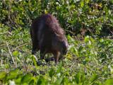 163 Capybara.jpg