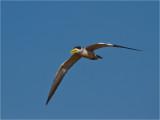 166 Large-billed River Tern.jpg