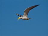 167 Large-billed River Tern.jpg