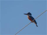 169 Ringed Kingfisher.jpg