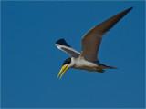 168 Large-billed River Tern.jpg