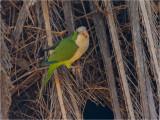170 Monk Parakeet.jpg
