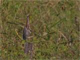 172 Rufescent Tiger Heron.jpg