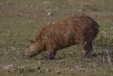 176 Capybara.jpg