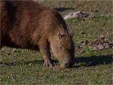 177 Capybara.jpg