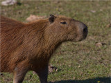 178 Capybara.jpg