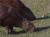179 Capybara.jpg