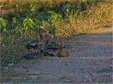 182 Black-bellied Whistling Duck.jpg