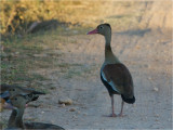 185 Black-bellied Whistling Duck.jpg