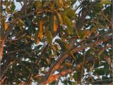 194 Scaly-headed Parrot.jpg