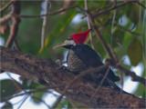 197 Pileated Woodpecker.jpg