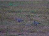 198 Picazuro Pigeon.jpg