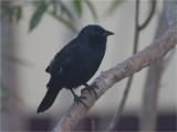 199 Chopi Blackbird.jpg