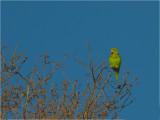205 Yellow-chevroned Parakeet.jpg