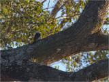 206 White Woodpecker.jpg
