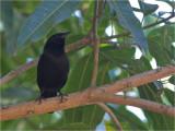 216 Chopi Blackbird.jpg