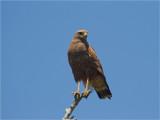 223 Savannah Hawk.jpg