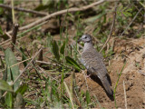 224 Scaled Dove.jpg