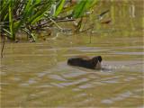 232 Capybara.jpg