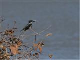 233 Amazon Kingfisher.jpg