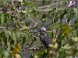 240 Striated Heron.jpg