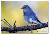 Mountain Blue Bird pc.jpg