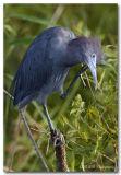 Little Blue Heron pb.jpg