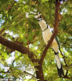 White-throated Magpie-Jay, Calocitta formosa